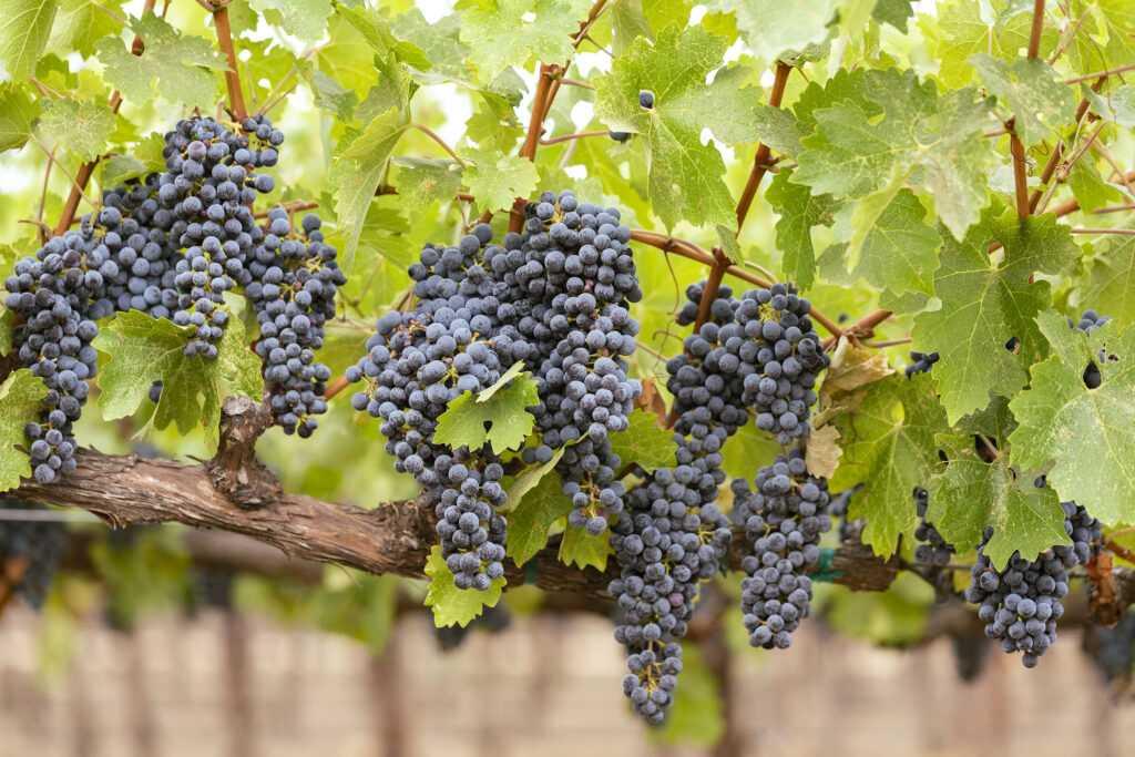 cabernet clusters hanging on vine